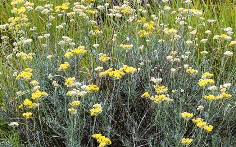 Elicriso (Helichrysum italicum)